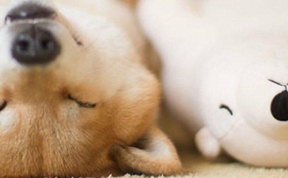 Hond slaapt met knuffelvriendje