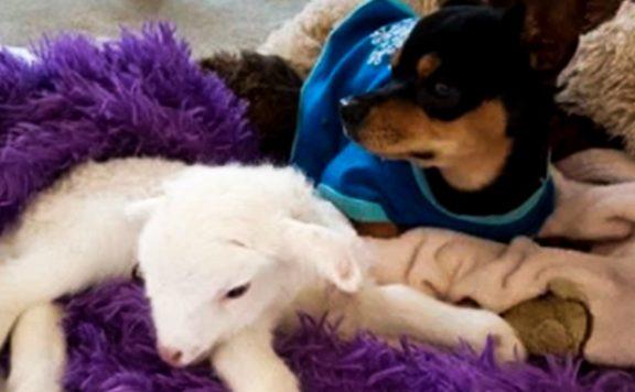 Knuffel biedt troost voor Chihuahua