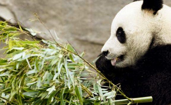 Chinese Reuzenpanda's zijn gearriveerd in Nederland.